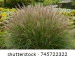 miscanthus sinensis  ornamental ...   Shutterstock . vector #745722322