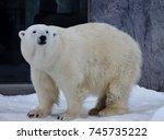 polar bear at asahiyama zoo | Shutterstock . vector #745735222