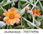 A Bright Orange Calendula...