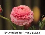 a close up of a ranunculus... | Shutterstock . vector #745916665