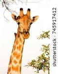 Small photo of Giraffe Head