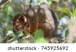Ringtail Possum Is An...