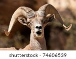 Bighorn Ram Sheep Red Rock Canyon Nevada - stock photo