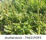 Red Root Or Pigweed Amaranth