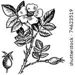 dogrose | Shutterstock .eps vector #74623519