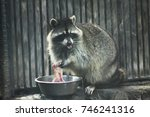 Small photo of common racoon