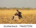striped hyena at blackbuck... | Shutterstock . vector #746327296