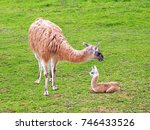 Beige Young Llama With Mother...
