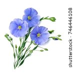 Flax Blue Flowers Close Up On...