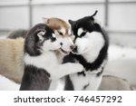 Stock photo siberian husky puppy giving kisses 746457292