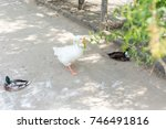 wild ducks and geese in summer... | Shutterstock . vector #746491816