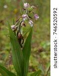 marsh helleborine flower in a... | Shutterstock . vector #746520592