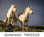 pair of white wild ponies