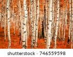 Fall Color In An Aspen Glade ...
