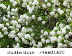 White Flowers Of Blooming...