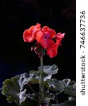 A Geranium Plant With Leaves...