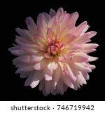 beautiful pink dahlia flower in ... | Shutterstock . vector #746719942