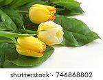 Flower Tulip. Yellow Tulips...