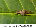 Small photo of Image of brown cricket(Trigonidiidae) on the green leaf. Insect. Animal.