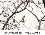 Small photo of Golden Langur (Trachypithecus geei) the rare old world monkey found only at small region of western Assam (India) and southern Bhutan, Manas National Park.