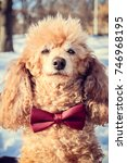 Poodle In Christmas Costume...