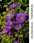 Small photo of Michaelmas Daisies Aster amellus