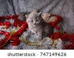 Stock photo british new year s kitten christmas gift british kitten british blue kitten british beautiful 747149626