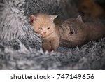 Stock photo british kittens are hugging lovely british kittens british kittens dream 747149656