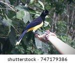 bird with dark head plush... | Shutterstock . vector #747179386