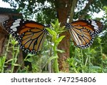 Small photo of Two butterfly (Nymphalidae, Lepidoptera, Danainae) on a flower, in tropical village