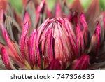 Dahlia Black Jack Flower Close...