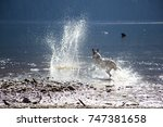 dog splashing in water | Shutterstock . vector #747381658