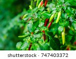 fresh red and green chili tree... | Shutterstock . vector #747403372