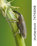 Small photo of Beetle Lixus scolopax on the plant
