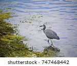 A white-faced Heron Ardea novaehollandiae walking and searching food in the water.