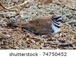 Nesting Killdeer bird sits on eggs in dirt nest at the Cosumnes River Preserve in California