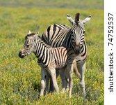 Zebra With Young One In Etosha...