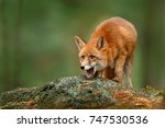 cute red fox  vulpes vulpes  on ... | Shutterstock . vector #747530536