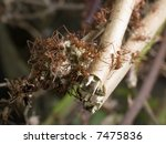 Small photo of Leafcutter ants (Acromyrmex) - landscape orientation