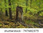 A Large Hardwood Tree Trunk...