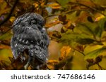 Small photo of Close up of little boreal owl Aegolius funereus sitting on branch and sleeping in furcate dense branch of wild forest around. Wildlife tranquil portrait scene of bird in nature habitat background.