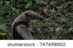 beutiful anteater in all its... | Shutterstock . vector #747698002