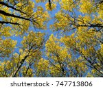Birch Trees From Below Against...