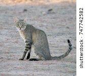 Small photo of African Wild Cat Kalahari Desert Kgaligadi Transfrontier Park Mata Mata South Africa