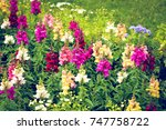 Beautiful Garden Lupines With...