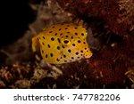 juvenile yellow boxfish   Shutterstock . vector #747782206