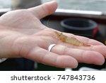 young crangon crangon  north... | Shutterstock . vector #747843736