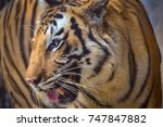 royal bengal tiger side face... | Shutterstock . vector #747847882