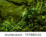 Small photo of Chameleon adapted to his green scenery