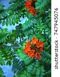 Small photo of African Tulip tree